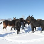 Lucky Three mules